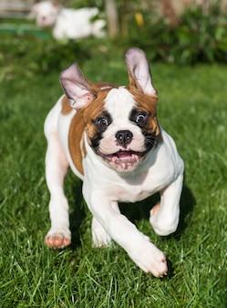 Amerikanischer bulldoggenwelpe auf natur