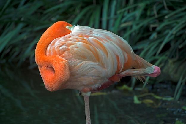 Amerikanischer flamingo, der auf einem bein stillsteht