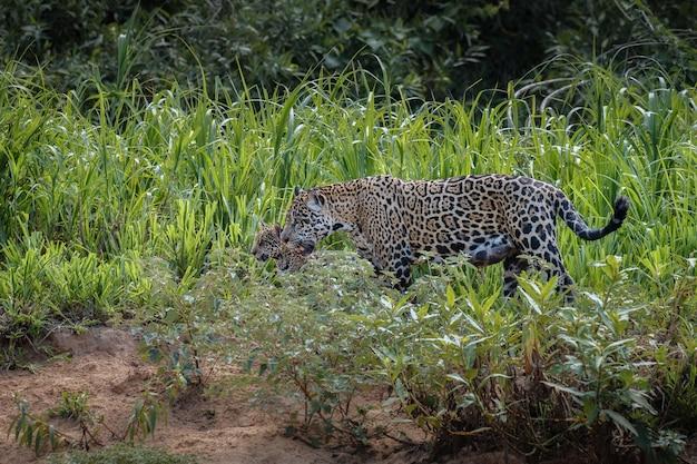 Amerikanischer jaguar im naturlebensraum des südamerikanischen dschungels