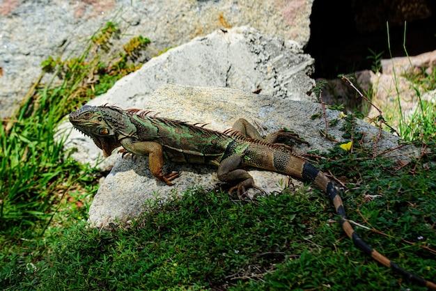 Amerikanischer leguan ist ein eidechsenreptil der gattung iguana in der familie der leguane. und in der unterfamilie iguanidae. großer leguan auf einer natur.