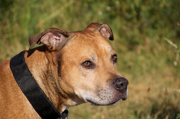 Amerikanischer pit bull terrier