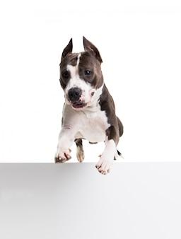 Amerikanischer pitbullterrier, der über ein hindernis im studio auf weiß - isolat springt