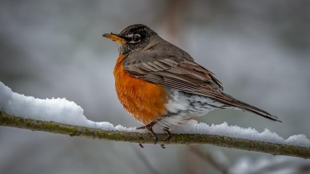 Amerikanischer robin auf einem schneebedeckten ast
