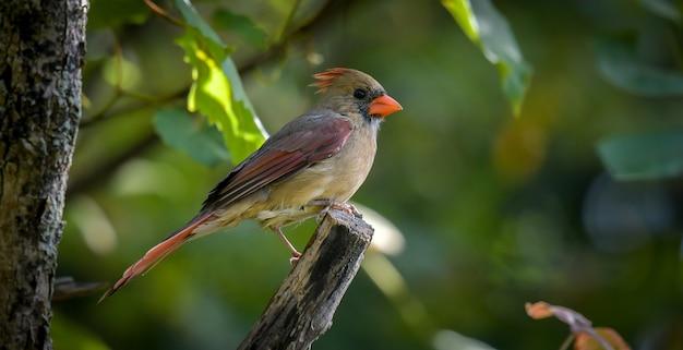 Amerikanischer robin (turdus migratorius)