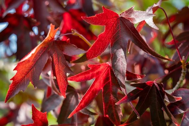 Amerikanischer roter gummibaum (liquidambar styraciflua) blätter im herbst