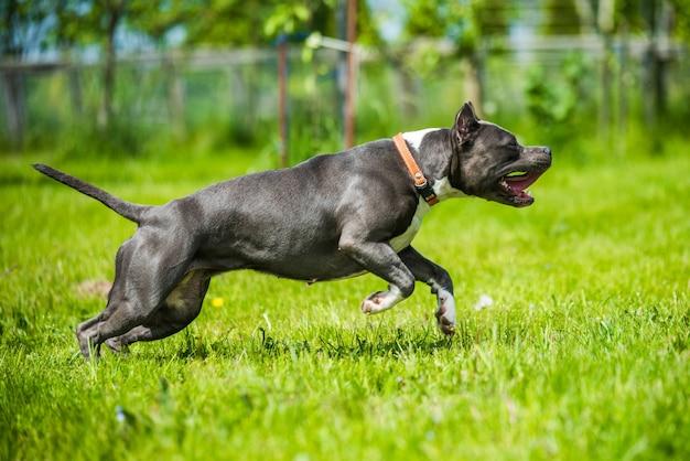 Amerikanischer staffordshire-terrier-hund mit blauen haaren, der sich bewegt