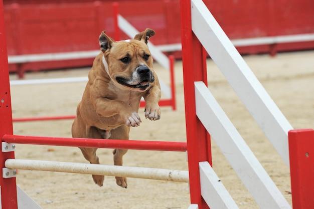 Amerikanischer staffordshire-terrier im agility-wettbewerb