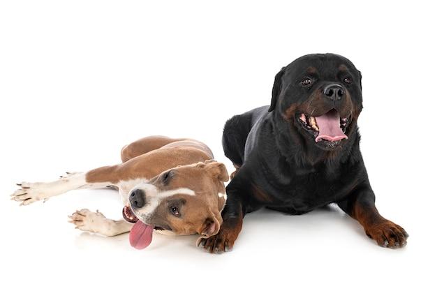 Amerikanischer staffordshire terrier und rottweiler vorne auf weiß isoliert