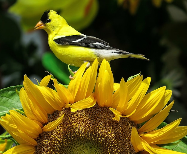 Amerikanischer stieglitz thront auf einer sonnenblume