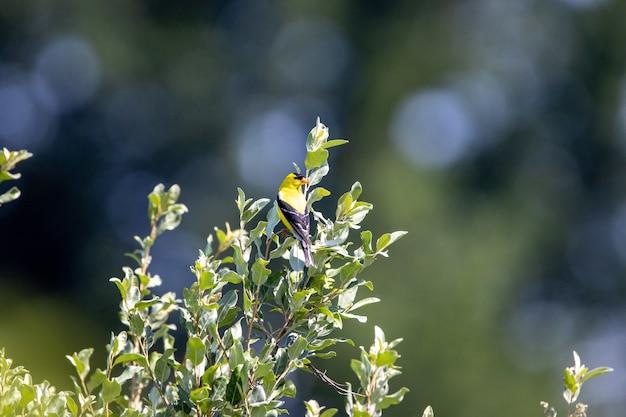 Amerikanischer stieglitzvogel, der auf einem ast eines baumes sitzt