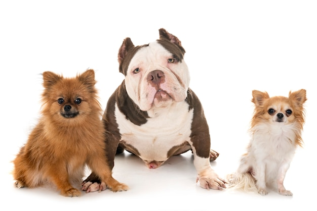 Amerikanischer tyrann und kleine hunde
