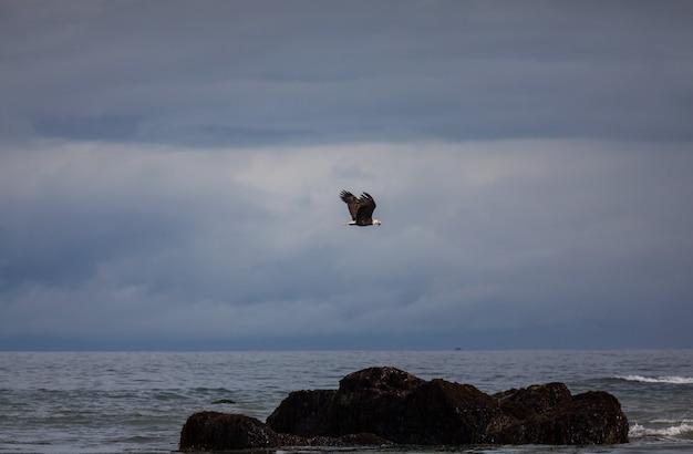 Amerikanischer weißkopfseeadler im flug gegen den klaren blauen himmel von alaska