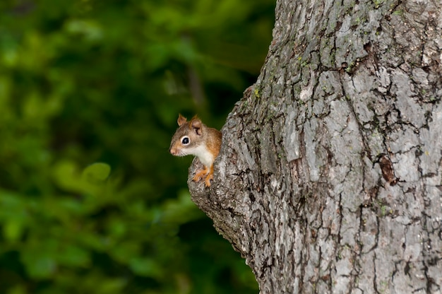 Amerikanisches eichhörnchen späht aus seinem nestloch in einem alten baumstamm