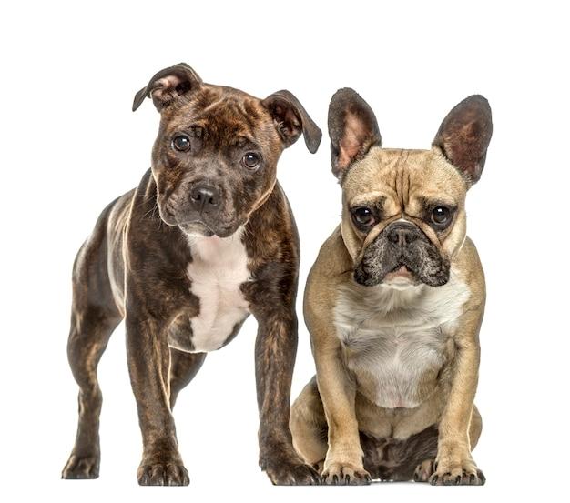 Amerikanisches personal und französische bulldogge, isoliert auf weiß