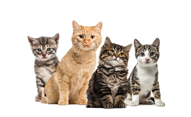 Amerikanisches polydactyl-kätzchen, europäische katze, kätzchen-hauskatze, gestreiftes mischlingskätzchen