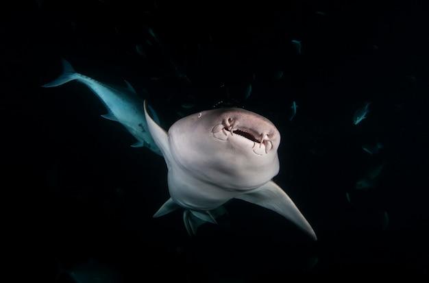 Ammenhaie nebrius-hai im dunklen nachtozean schwimmt unter wasser. haie in freier wildbahn