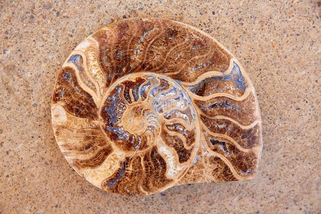 Ammoniten fossile schnecke in teruel gefunden