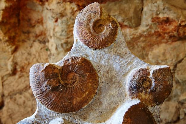 Ammonitenfossil in der valencianischen gemeinschaft spanien