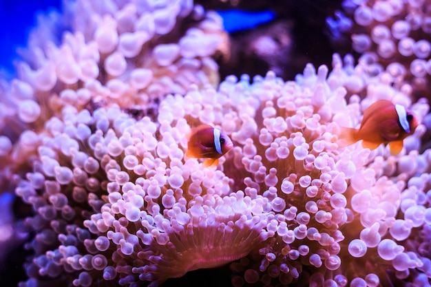 Amphiprion ist in der anemone. thailand.