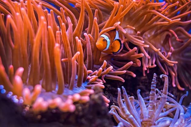 Amphiprion ocellaris clownfisch im meerwasseraquarium