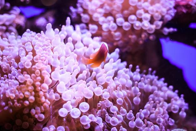 Amphiprion (westlicher clownfisch (ocellaris clownfish, falscher percula clownfish)) ist in der anemone. thailand.