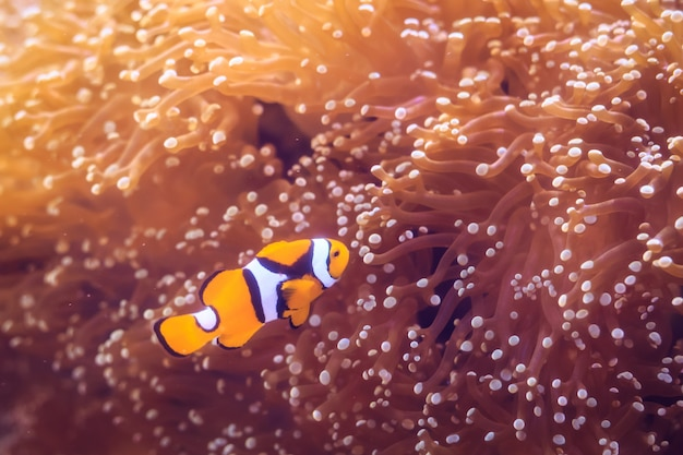 Amphiprion (westlicher clownfisch (ocellaris clownfish, false percula clownfish) ist in anemone. thailand.