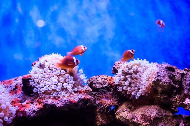 Amphiprion westlicher clownfisch