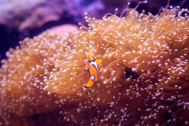 Amphiprion, westlicher clownfisch