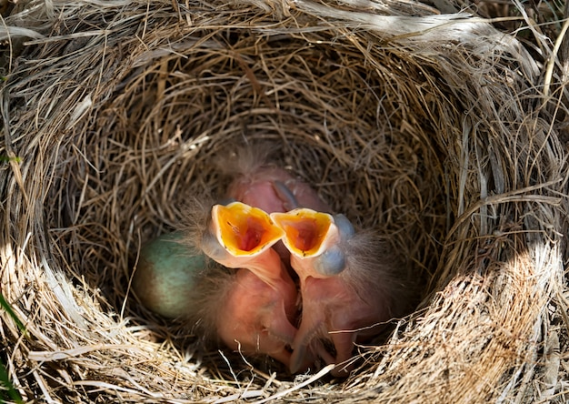 Amselbabys im nest