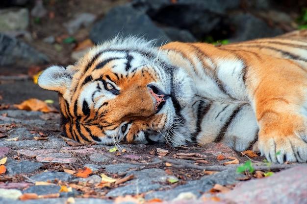 Amur tiger in den natürlichen bedingungen der natur