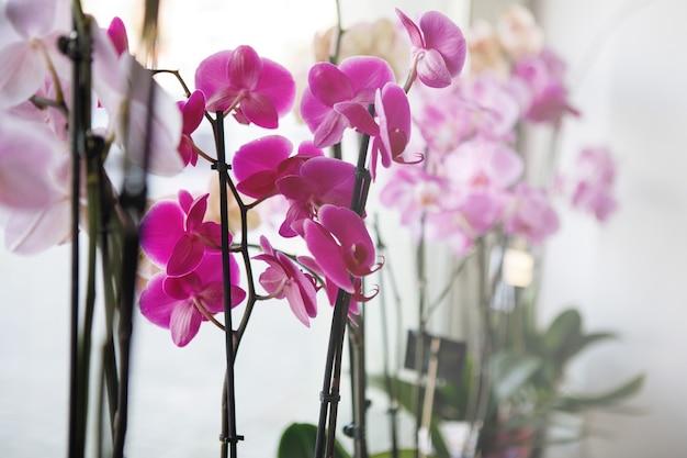 An den schaufenstern des blumenladens werden rosa und lila orchideen-phalenopsis verkauft. selektiver fokus.