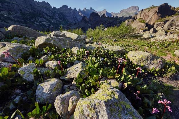 An einem klaren, sonnigen tag wachsen seltene bergpflanzen und blumen in der nähe des gebirgsbaches. erstaunliche flora der berge, pflanzen im roten buch aufgeführt