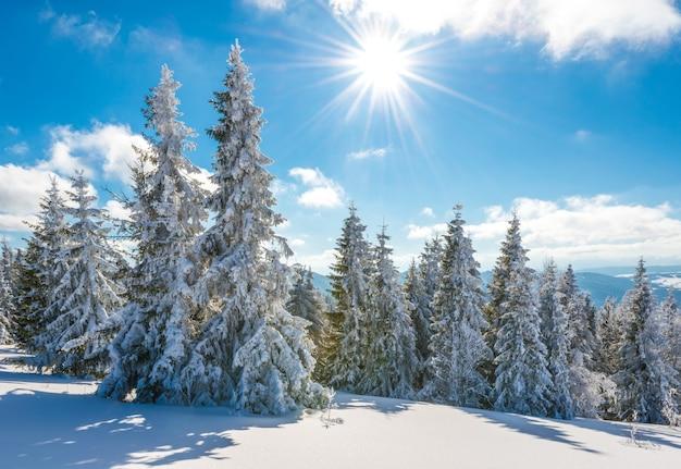 An einem sonnigen, frostigen wintertag wachsen auf einem hügeligen, schneebedeckten wald hohe, schlanke, schneebedeckte tannen. konzeptreise zu unbekannten rauen orten des planeten
