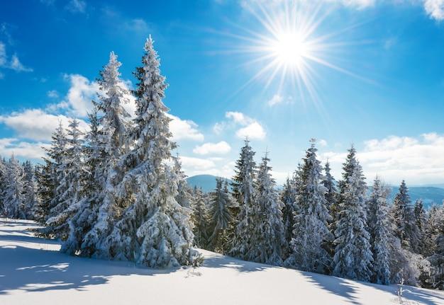An einem sonnigen, frostigen wintertag wachsen auf einem hügeligen, schneebedeckten wald hohe, schlanke, schneebedeckte tannen.