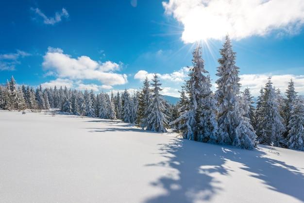 An einem sonnigen, frostigen wintertag wachsen in einem hügeligen verschneiten wald hohe schlanke schneebedeckte tannen. konzeptreisen zu unerforschten rauen orten des planeten