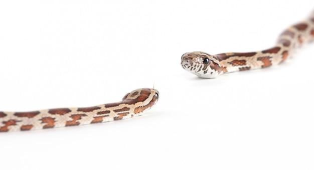 Anaconda hautnah