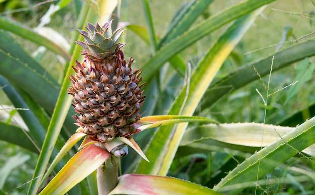 Ananaspflanze mit früchten.