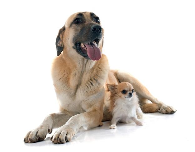 Anatolischer schäferhund und chihuahua