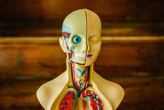Anatomisches modell des menschlichen körpers in kunststoff zum lernen im klassenzimmer oder für den arzt.