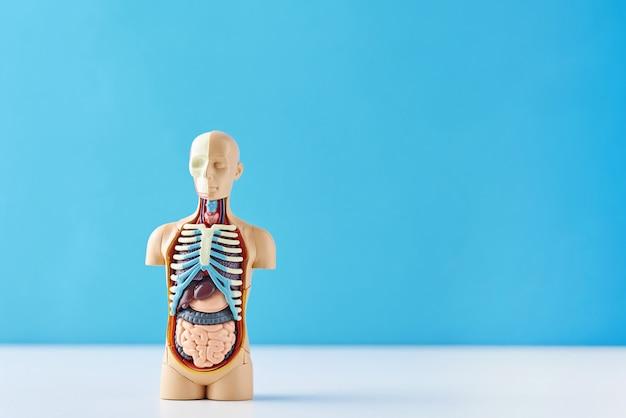Anatomisches modell des menschlichen körpers mit inneren organen auf blau. anatomie-schaufensterpuppe