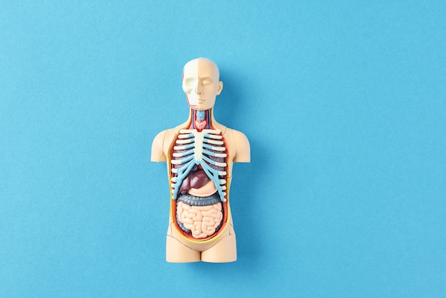Anatomisches modell des menschlichen körpers mit inneren organen auf einem blauen hintergrund. anatomie-schaufensterpuppe