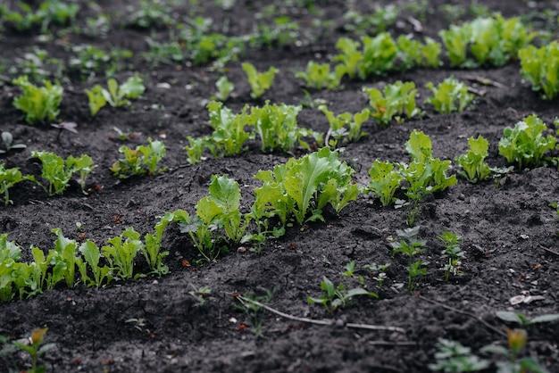Anbau eines natürlichen und gesunden salats aus nächster nähe. landwirtschaftliche industrie.