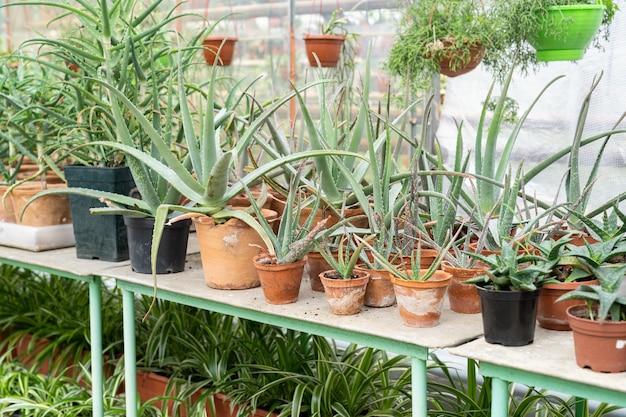 Anbau von aloe in gewächshauspflanzen in töpfen im gewächshaus zum verkauf im blumenladen oder einzelhandelsgeschäft
