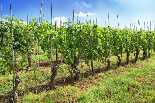 Anbau von grünen trauben. langhe region.