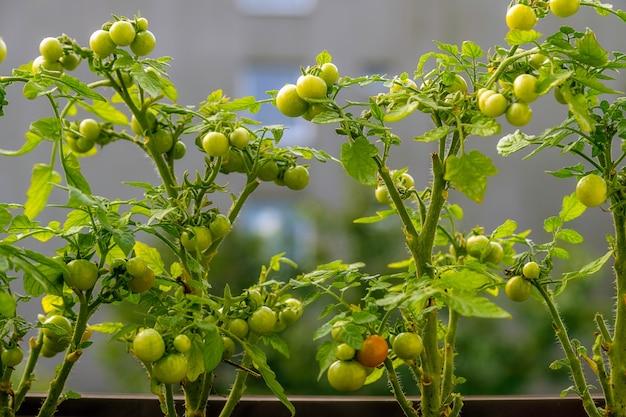 Anbau von kirschtomaten auf einem balkon, städtische landwirtschaft