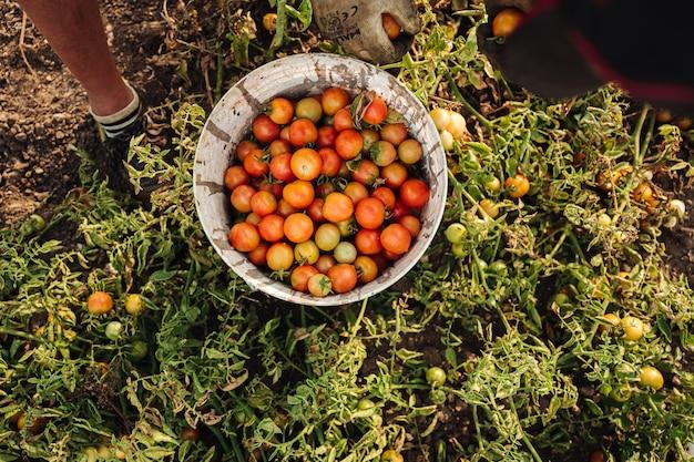 Anbau von kirschtomaten in apulien, süditalien