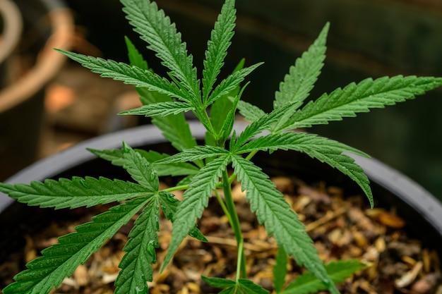 Anbau von marihuana (cannabis sativa), einer blühenden cannabispflanze als legale arznei