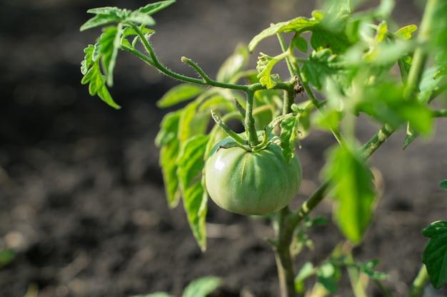 Anbau von tomaten im garten unter freiem himmel, tomatenbüsche mit grünen tomaten auf den zweigen.