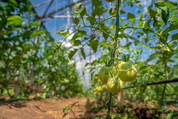 Anbau von tomaten in bio-qualität ohne chemikalien in einem gewächshaus auf dem bauernhof. gesundes essen, gemüse. speicherplatz kopieren
