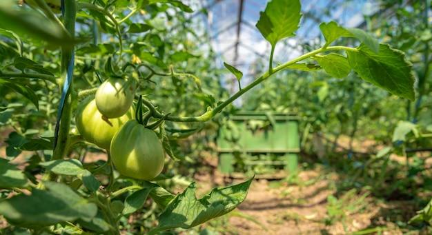 Anbau von tomaten in bio-qualität ohne chemikalien in einem gewächshaus auf dem bauernhof. gesundes essen, gemüse